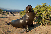 A male Galapagos sea lion (Zalophus californianus) on the beach of Fernandina Island, Galapagos Archipelago - Ecuador.