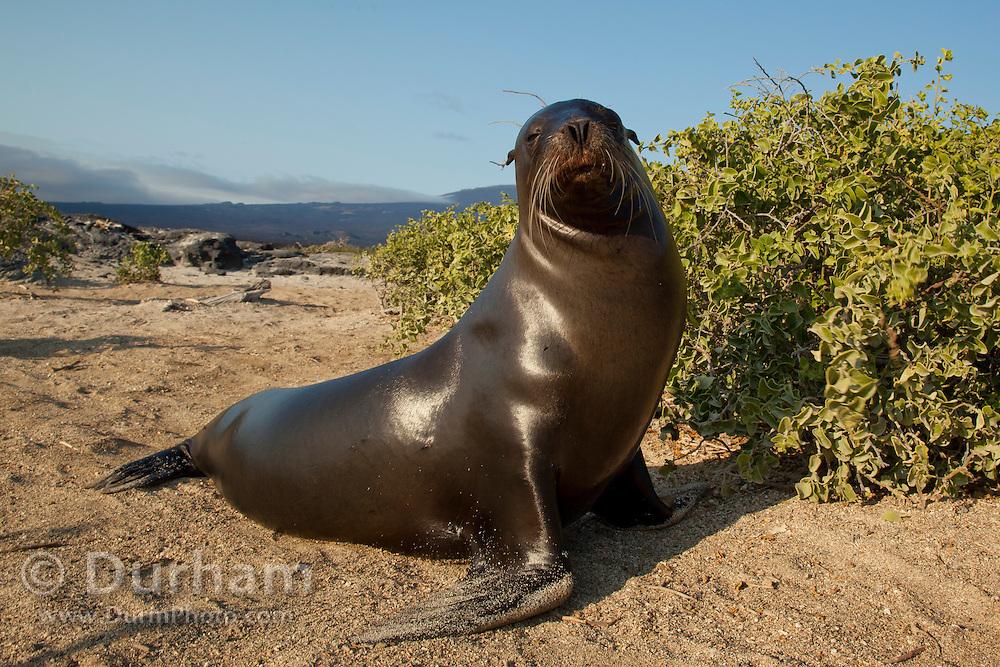 A male Galapagos sea lion (Zalophus californianus) on the beach of Fernandina Island, Galapagos Archipelago - Ecuador.