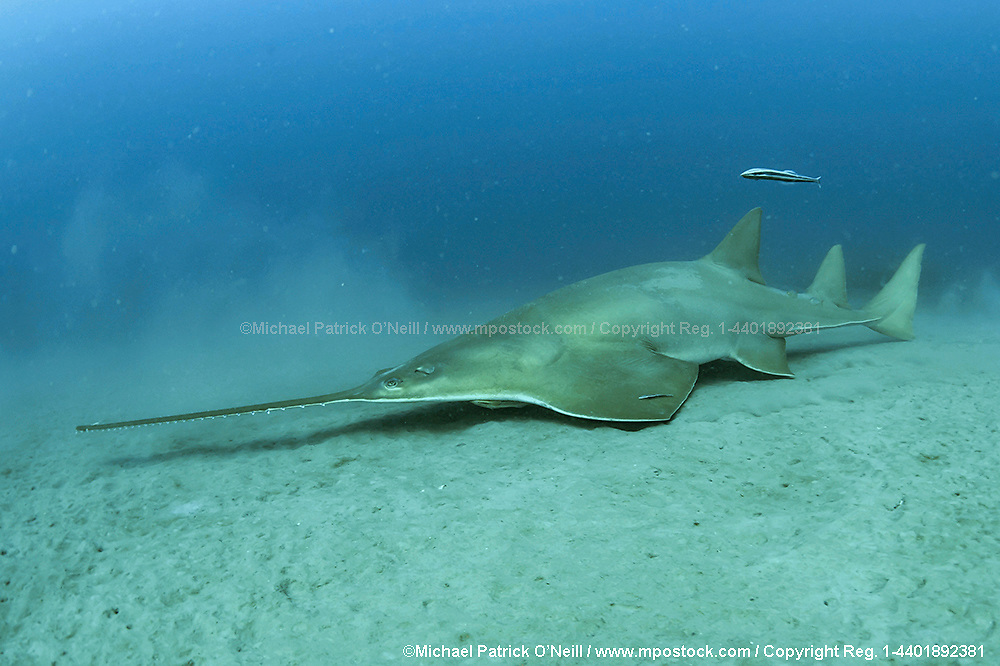 The critically endangered Small Tooth Sawfish, Pristis pectinata, gather offshore the Florida coastline on deep, silty reefs during winter. This species' population has declined by more than 95% due to the destruction and alternation of coastal habitats such as mangroves and the use of nets, which easily trap these giant fish. Historically ranging from the Carolinas to Texas, the species exists only in Florida nowadays, where it's protected and considered stable. Image available as a premium quality aluminum print ready to hang.
