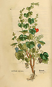 16th century, watercolor, hand painted woodcutting print of Vitis vinifera, the common grape vine from Leonhart Fuchs book of herbs: De Historia Stirpium Commentarii Insignes Published in Basel in 1542 The original manuscript this image is taken from shows signs of water damage