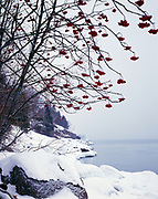 American mountain ash, Sorbus americana, growing along the snowy shore of Sugarloaf Cove, North Shore of Lake Superior, Minnesota.