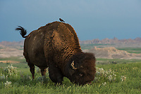 A lone bison grazes in the evening light in Badlands National Park. Cowbirds like to hang around bison because they stir up insects as they graze.