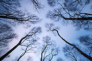 A view looking directly upwards amongst the silver birch trees of Bolehill Quarry. A long exposure has been used to smooth the features in the sky, allowing the graphic nature of the tree trunks to stand out. Derbyshire, Peak District, England. November 2014.