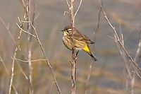 This female yellow-rumped warbler perches in the cold early winter morning in the St. Marks National Wildlife Refuge.