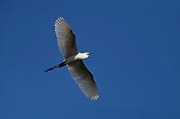 Intermediate egret bird, Mesophoyx intermedia, flying at Tongbiguan nature reserve, Dehong prefecture, Yunnan province, China
