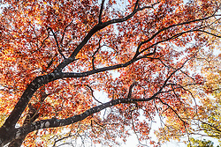 Sunlight through Texas red oak trees in fall color on Piedmont Ridge in Great Trinity Forest, Dallas, Texas, USA