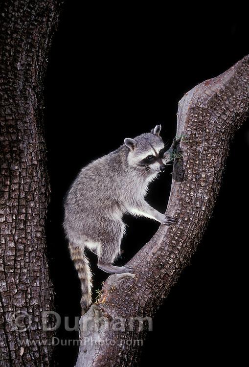 Raccoon (Procyon lotor) in an alligator juniper  tree at night in the Coronado National Forest, Arizona.