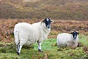 Blackfaced sheep in Dartmoor countryside, Devon,  United Kingdom