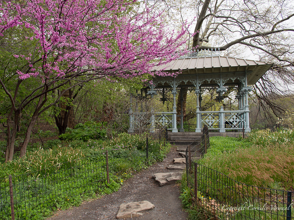 Eastern Redbud blossoms at the Ladies Pavilion in Central Park