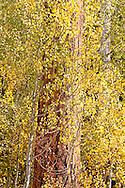 A mature Ponderosa pine tree among the Aspens