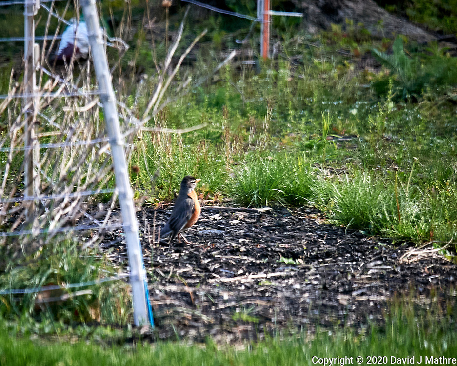 American Robin. Image taken with a Nikon D5 camera and 600 mm f/4 VR lens (ISO 1000, 600 mm, f/5.6, 1/1250 sec)