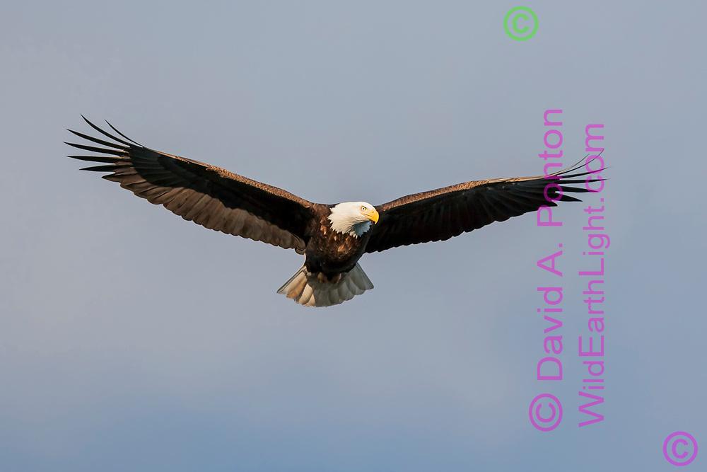 Bald eagle in flight overhead, sky background, © David A. Ponton