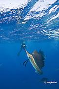 Jesse Cancelmo photographs Atlantic sailfish, Istiophorus albicans, attacking bait ball of Spanish sardines (aka gilt sardine, pilchard, or round sardinella ), Sardinella aurita, off Yucatan Peninsula, Mexico ( Caribbean Sea ) MR 403
