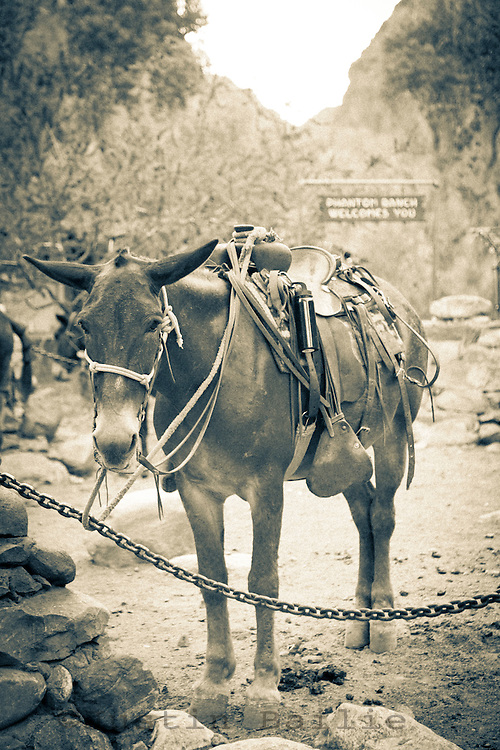 Portrait of pack mule at Phantom Ranch. Grand Canyon National Park.