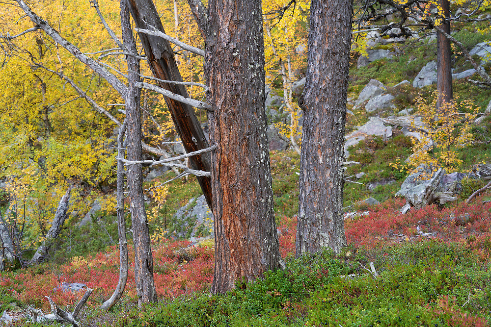 Scots pines and birch, in red blueberry leaves, Old-growth pine forest in the Stora Sjoefallet National Park, Laponia Unesco World Heritage Site, Norrbotten, Lapland, Sweden