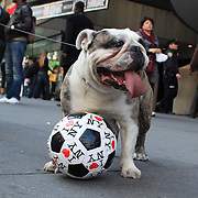A dog plays with a football marked with I love NY in Time Square. New York. Times Square is the major commercial intersection in Midtown Manhattan, New York City, at the junction of Broadway and Seventh Avenue and stretching from West 42nd to West 47th Streets and one of the world's busiest pedestrian intersections. Time Square, New York, USA. 28th April 2012. Photo Tim Clayton
