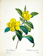19th-century hand painted Engraving illustration of Hibbertia scandens (also known as snake vine, climbing guinea flower, golden guinea vine or gold guinea plant)  [here as Dillenia scandens] flower, by Pierre-Joseph Redoute. Published in Choix Des Plus Belles Fleurs, Paris (1827). by Redouté, Pierre Joseph, 1759-1840.; Chapuis, Jean Baptiste.; Ernest Panckoucke.; Langois, Dr.; Bessin, R.; Victor, fl. ca. 1820-1850.