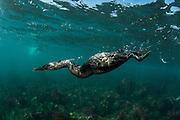 Flightless Cormorant (Phalacrocorax harrisi)<br /> Punta Moreno, Isabela Island<br /> Galapagos<br /> Ecuador, South America<br /> ENDEMIC TO GALAPAGOS
