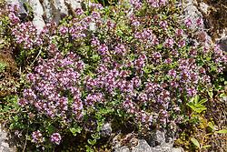 Grote tijm, Thymus pulegioides