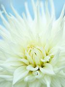 Dahlia 'White Star' - semi cactus dahlia