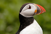 Profile (side) view of an Atlantic Puffin (Fratercula arctica) in the Farne Islands. The Atlantic Puffin is a seabird in the auk family.