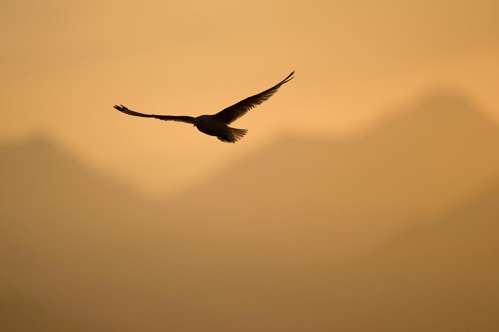 USA, Alaska, Glacier Bay National Park, Mew Gull (Larus canus) hovering in flight above Glacier Bay at sunset on summer evening