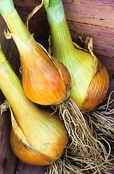 Onion 'Autumn Gold Improved' in a trug