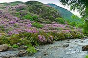 Rhododendron bushes on mountainside of Moel Hebog Mountain at Beddgelert, Gwynedd, Wales