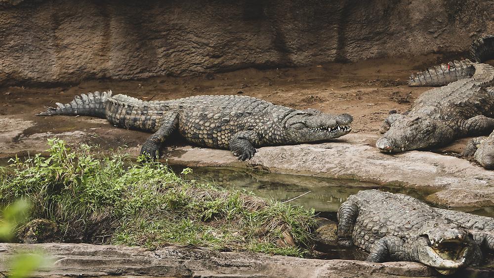 Gators roaming around in Florida.