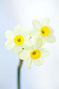 Narcissus 'Minnow' - tazettta daffodil