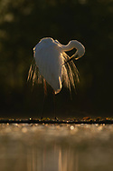 bird; Great White Egret; wjite; egret; water, feathers; Egretta alba or Ardea alba, at Pusztaszer protected landscape, Kiskunsagi, Hungary