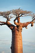 A heron sits atop a Baobab tree on Avenue of the Baobabs, near Morondava, Madagascar
