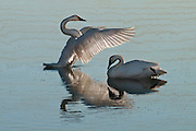 A pair of Trumpeter Swans in Jackson Hole, Wyoming just after sunrise.