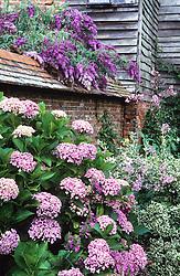 Hydrangea 'Ayesha', Buddleia 'Dartmoor' and Euonymus fortuneii 'Emerald Gaiety' in the Barn garden at Great Dixter