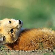 Red Fox, (Vulpus fulva) Portrait of young pup near den,resting Spring.