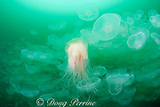 lion's mane jellyfish, Cyanea capillata, swimming through swarm or aggregation of moon jellies, Aurelia aurita, Port Fidalgo, Alaska ( Prince William Sound ); lion's mane jellies are predators that feed on moon jellyfish