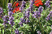 Spring garden of red and purple flowers.  St Paul Minnesota USA