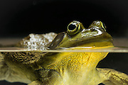 A swimming male American bullfrog (Lithobates catesbeianus) - an invasive species in the western North America.