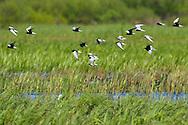 Mixed flock of White-winged black tern, Chlidonias leucopterus, Black tern, Chlidonias niger, and Whiskered tern, Chlidonias hybrida, Nemunas River Delta, Lithuania