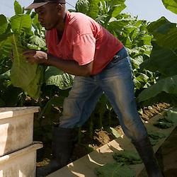 Farm hands harvest shade grown tobacco in Hadley, Massachusetts.