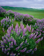 Lupine, Clearing Stormand the Caliente Range,Carrizo Plain National Monument, California