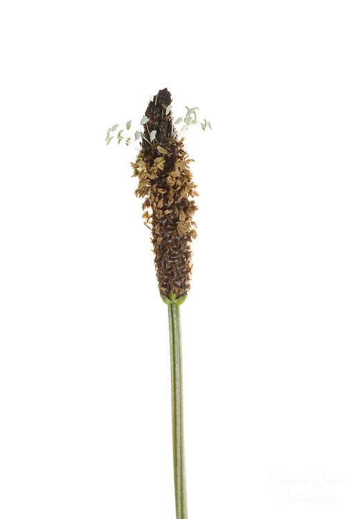 Ribwort plantain using Meet Your Neighbours field studio