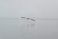 A Brown Pelican flies into the mist of a foggy morning in the Florida Everglades