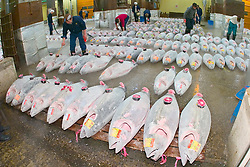 frozen tunas, Thunnus sp., getting set for auction, Tsukiji Fish Market or Tokyo Metropolitan Central Wholesale Market, the world's largest fish market, hadling over 2, 500 tons and over 400 different kind of fresh sea food per day, Tokyo, Japan