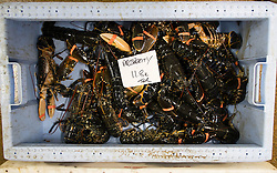 © Licensed to London News Pictures. 03/04/2014<br /> <br /> Whitby, North Yorkshire, United Kingdom<br /> <br /> Fresh lobster straight from the sea are weighed in the North Yorkshire seaside town of Whitby. <br /> <br /> Photo credit : Ian Forsyth/LNP