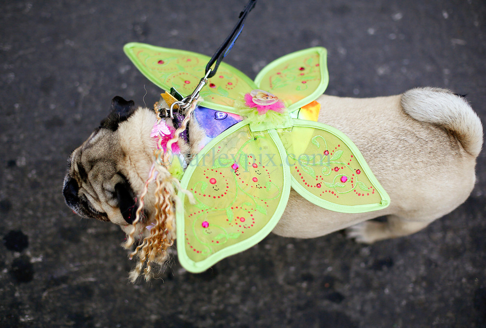 31 January 2016. New Orleans, Louisiana.<br /> Mardi Gras Dog Parade. Pug at the parade. The Mystic Krewe of Barkus winds its way around the French Quarter with dogs and their owners dressed up for this year's theme, 'From the Doghouse to the Whitehouse.' <br /> Photo©; Charlie Varley/varleypix.com