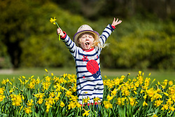 © Licensed to London News Pictures. 05/04/2018. Leeds UK. Two & a half year old Scarlet plays in the Daffodil's as the sun shine's at Temple Newsam park in Leeds today. Photo credit: Andrew McCaren/LNP