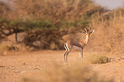Dorcas Gazelle (Gazella dorcas), also known as the Ariel Gazelle Photographed in Israel in September
