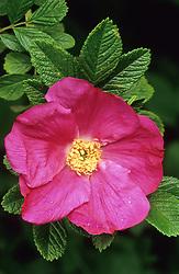Rosa 'Scabrosa' syn. Rosa rugosa 'Scabrosa'