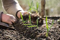 Planting out garlic. Planting on ridges